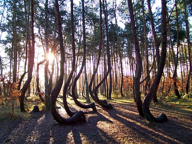 Резултат с изображение за Каква е тайната на Кривата гора в Полша