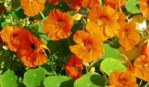 latinka-flower