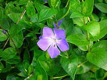 240px-Vinca_major_Greater_Periwinkle