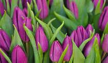 tulips-825x482